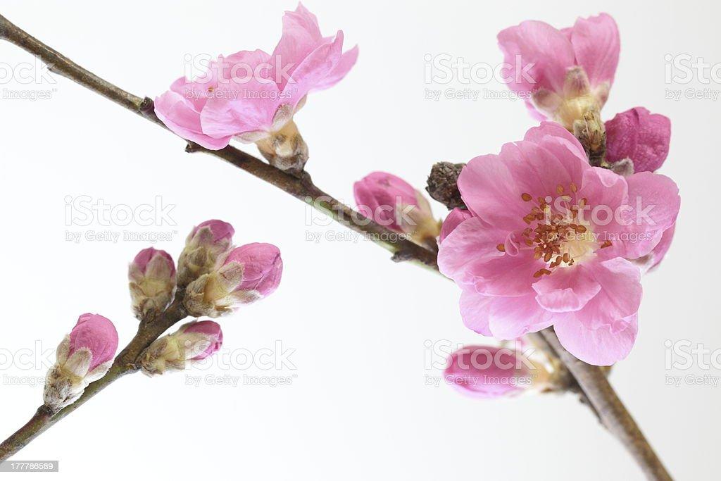 Peach blossom – Foto