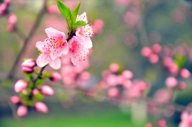 peach blossom - carpel bildbanksfoton och bilder