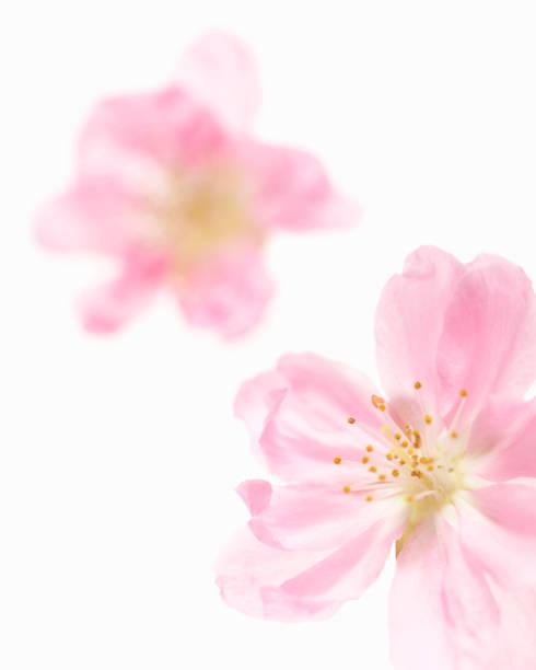 Peach blossom picture id666297030?b=1&k=6&m=666297030&s=612x612&w=0&h=hpvoynm4ybwiez2iibkhgiqrneztlrnderxkhgaw0dm=