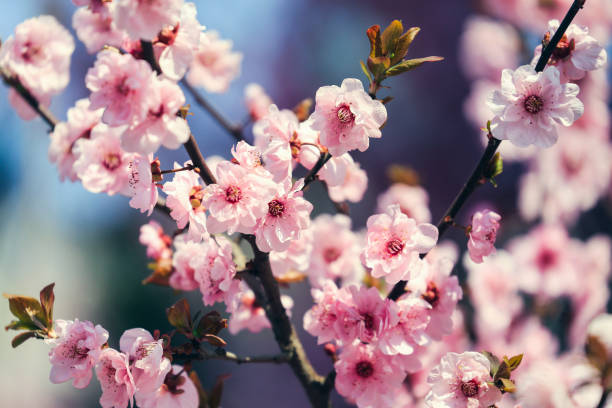 peach blossom - blossom stock pictures, royalty-free photos & images