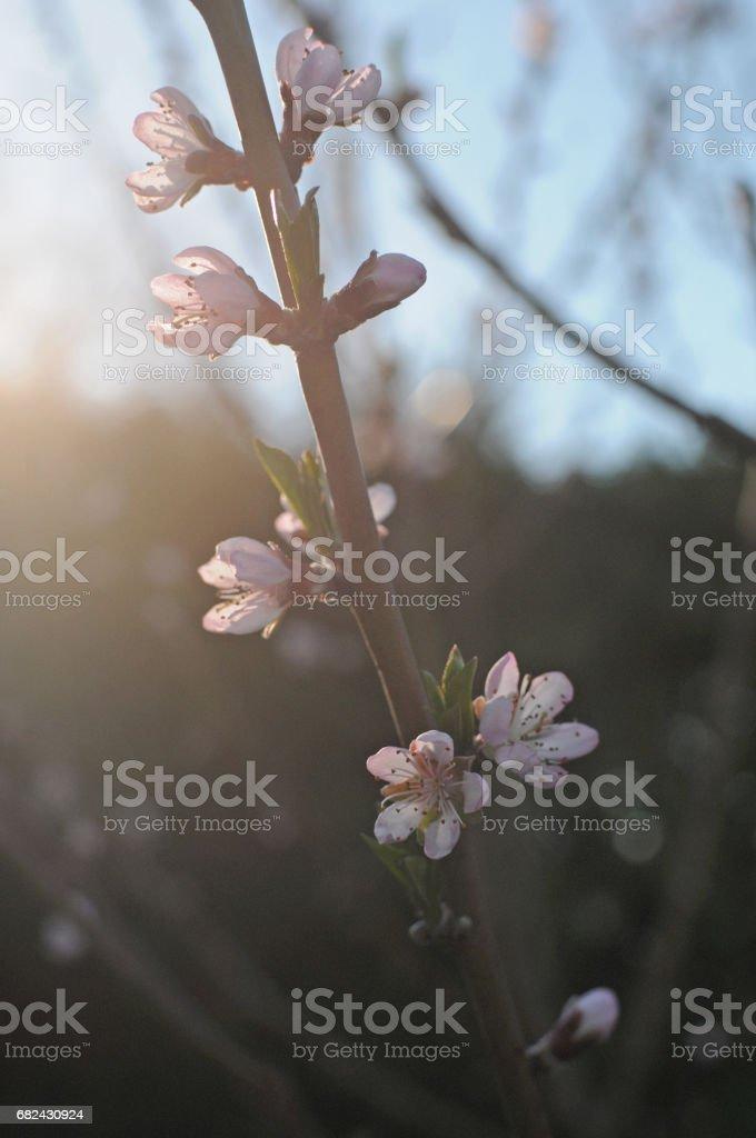 Peach blossom spring new york royalty-free stock photo