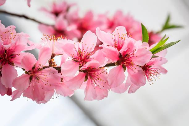 Pfirsichblüte - Frühling von Japan- – Foto