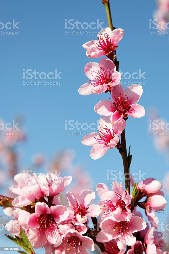 peach blossoms against blue sky royalty-free stock photo