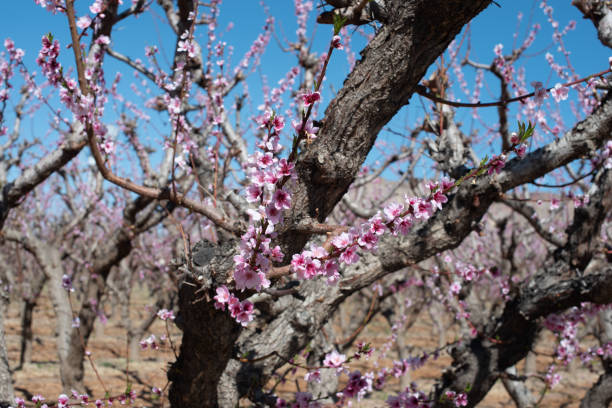 Peach blossoms and Branches stock photo