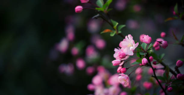 peach blossoms background in spring - sakura background stock photos and pictures