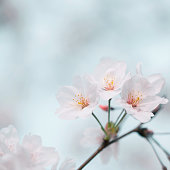 Peach blossoms background in spring