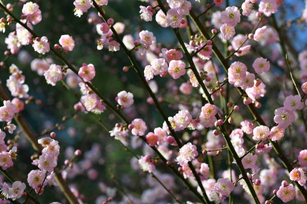 peach blossoms detail - steven harrie stock pictures, royalty-free photos & images