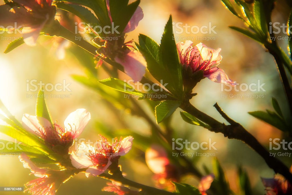 Peach Blossoms in Golden Light stock photo