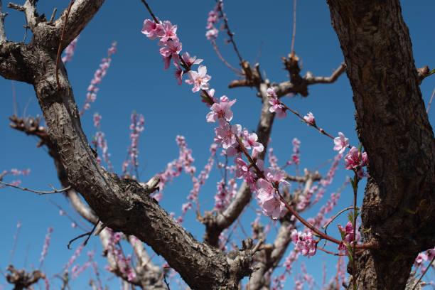 Peach blossoms on a gnarled branch stock photo