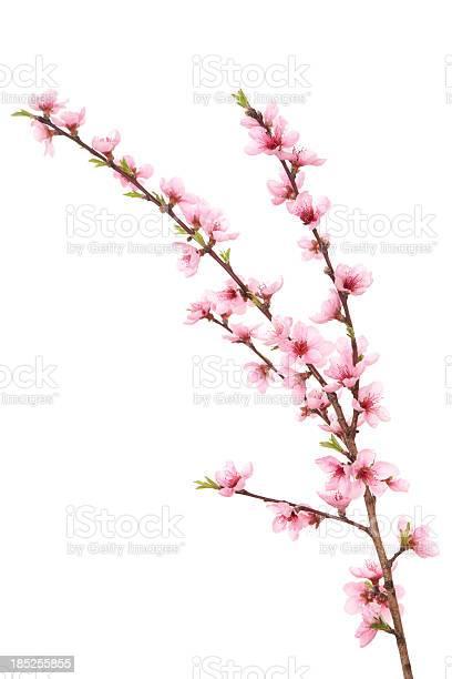 Peach blossoms on branch picture id185255855?b=1&k=6&m=185255855&s=612x612&h=z2 kxttf2sq8zp8ckee6s05k9fklwbkhahrlnfdfoyi=