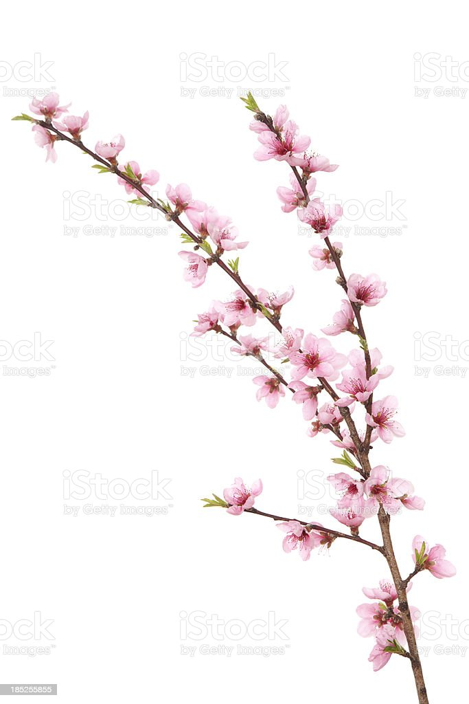 Peach Blossoms on Branch stock photo