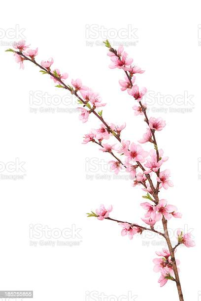 Photo of Peach Blossoms on Branch