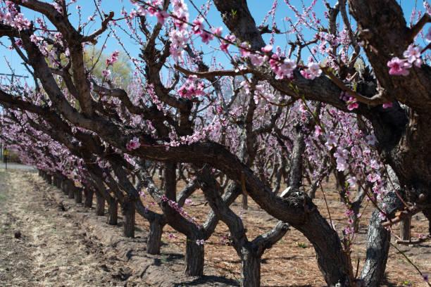 Peach Blossoms stock photo