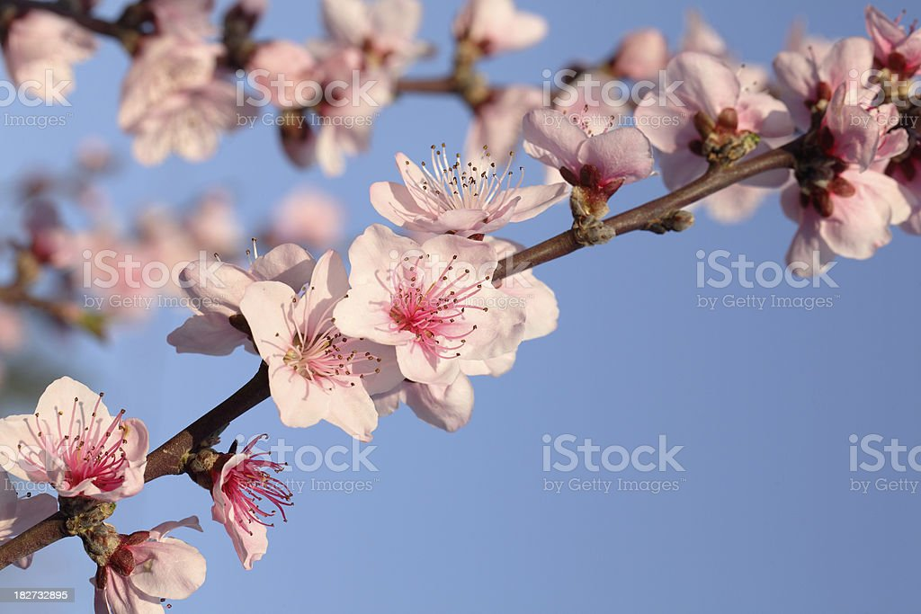 Peach Blossoms royalty-free stock photo