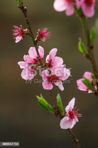 istock Peach blossoms 666942704