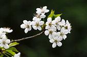 Peach blossoms i n spring