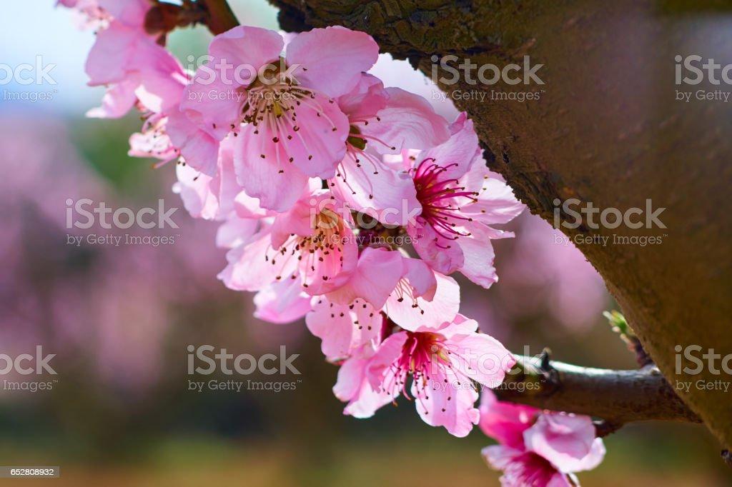 Peach blossoms views stock photo
