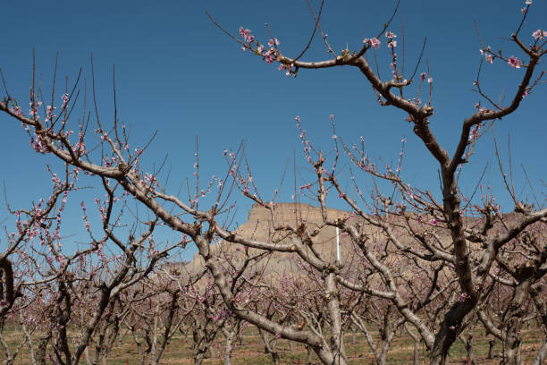 Peach branches in an Spring Orchard stock photo
