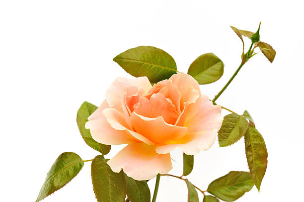 peach color rose isolated on white background stock photo