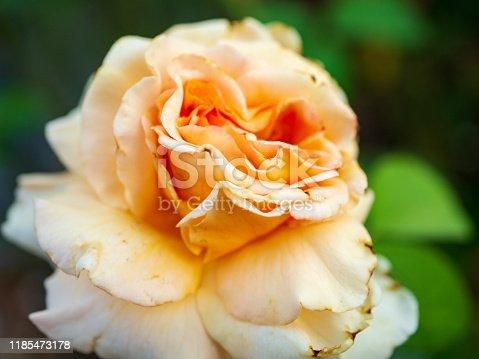 Peach colored rose close up focus shot