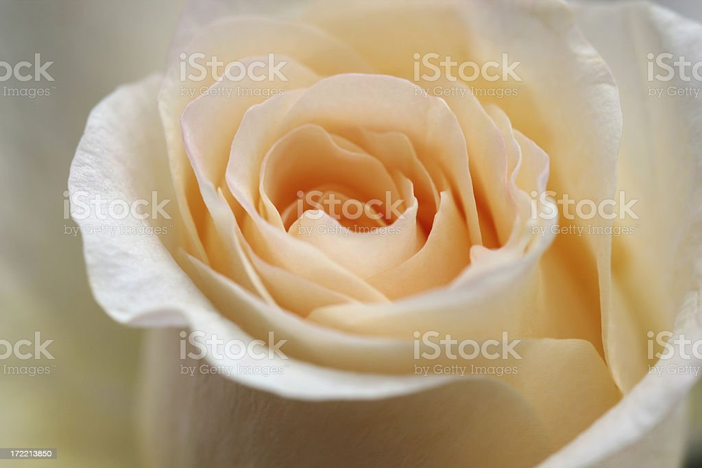 Peach colored rose macro royalty-free stock photo