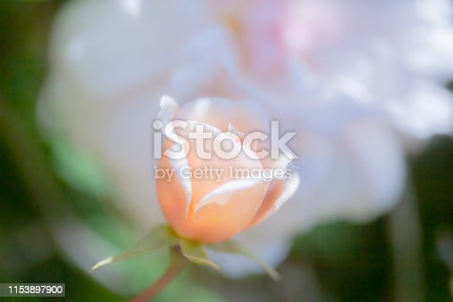 Close up photograph of peach colored rose bud with dappled sunlight. Shallow depth of field.