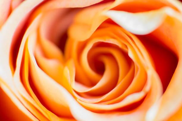 Peach Coloured Rose Petals stock photo