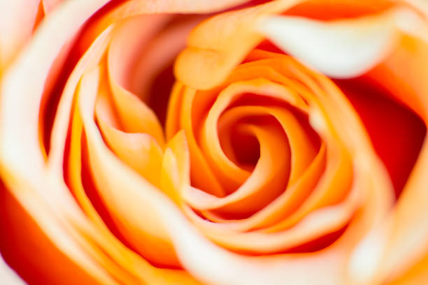 peach coloured rose petals - golden ratio стоковые фото и изображения