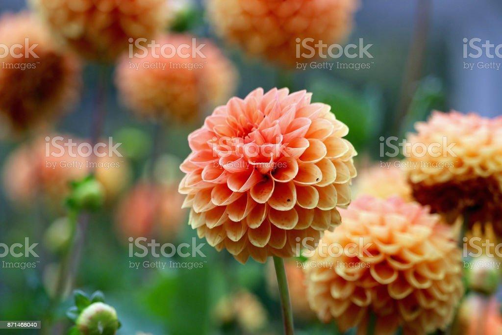 Peach Dahlias stock photo
