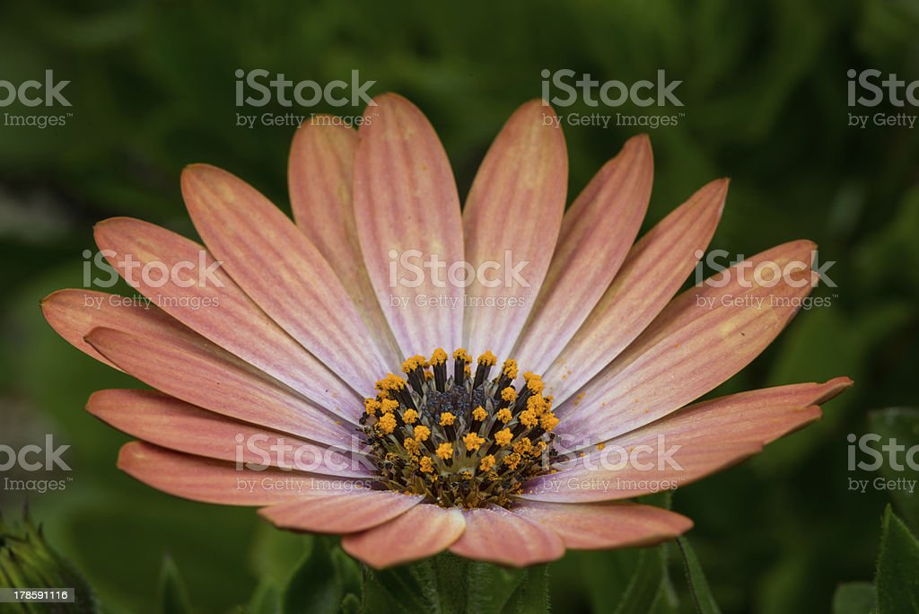 Peach daisy royalty-free stock photo