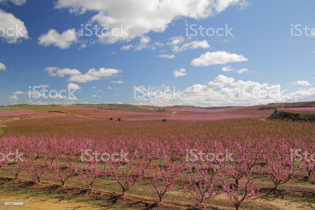 Peach fields in pink - Стоковые фото Большой роялти-фри