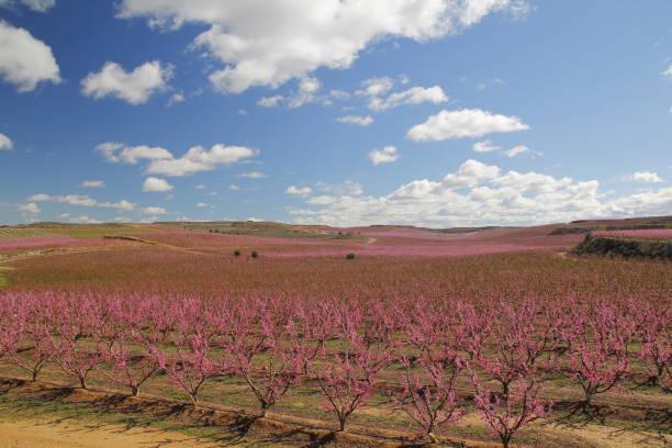 peach fields in pink - lleida стоковые фото и изображения