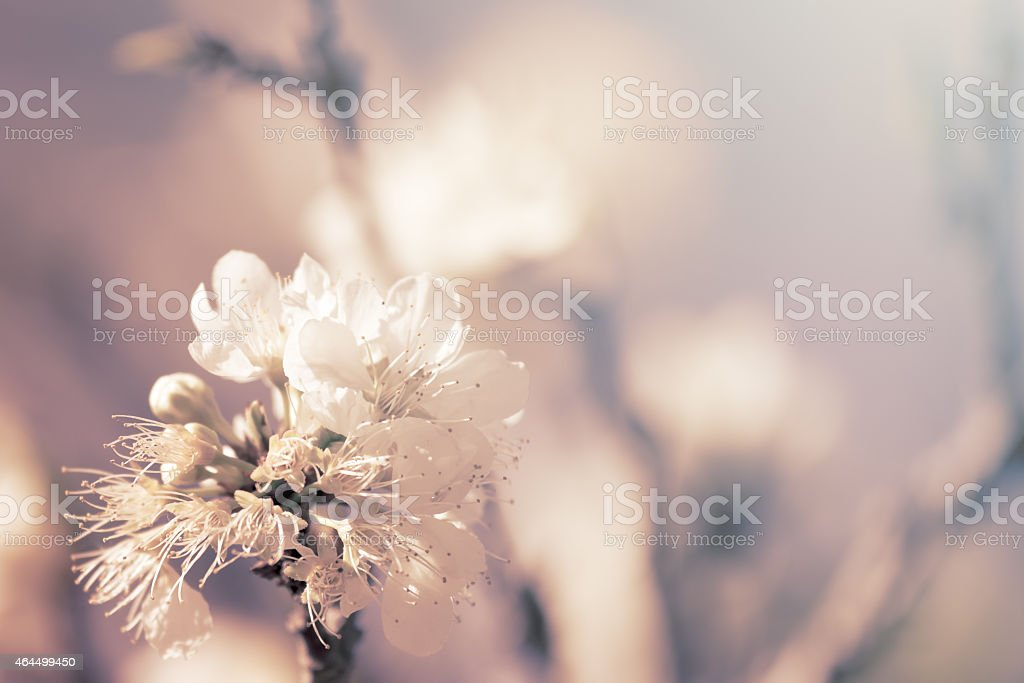 Peach flower in the garden in soft color style stock photo