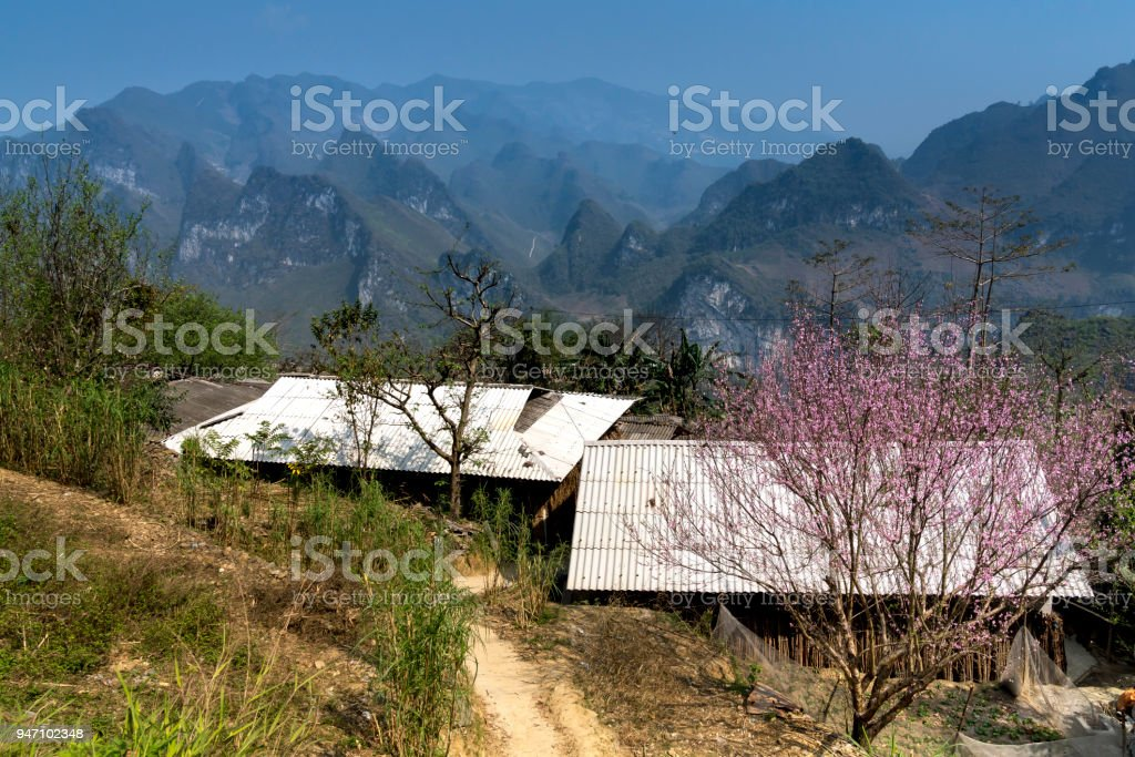 Peach flowers blossom in front of the house of the ethnic minority in Ha Giang, Vietnam. stock photo