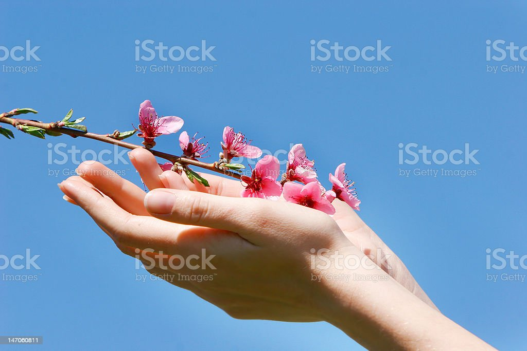 peach flowers in female hands royalty-free stock photo