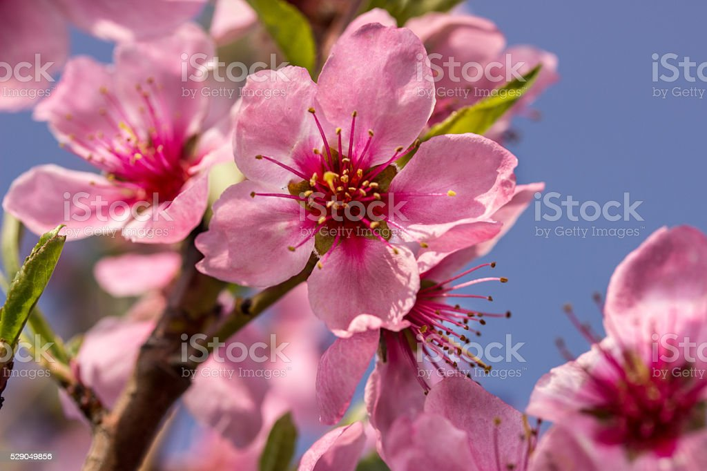 Peach flowers on a branch stock photo