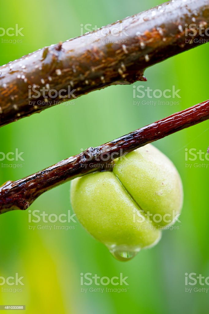 Peach fruit on branch stock photo