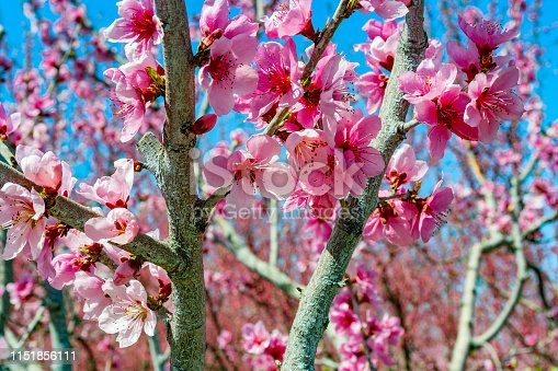 In the South of Russia in the Krasnodar region grow a variety of fruits, including peaches. During flowering trees are very beautiful