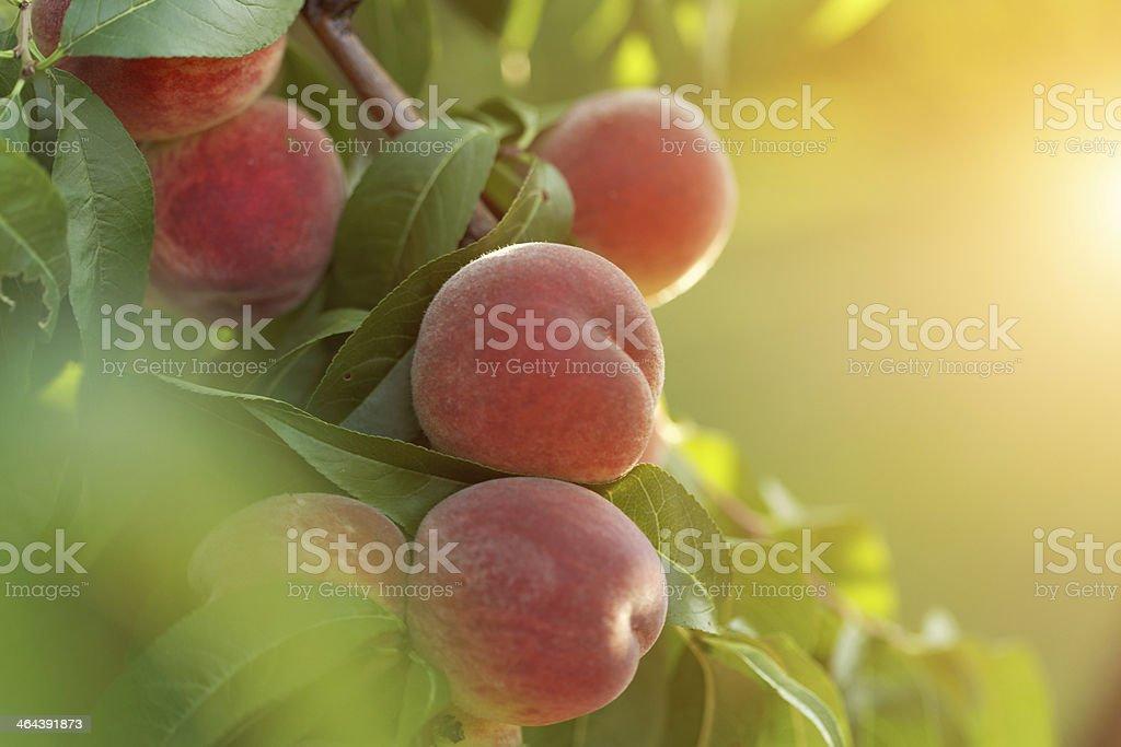 peach fruits stock photo