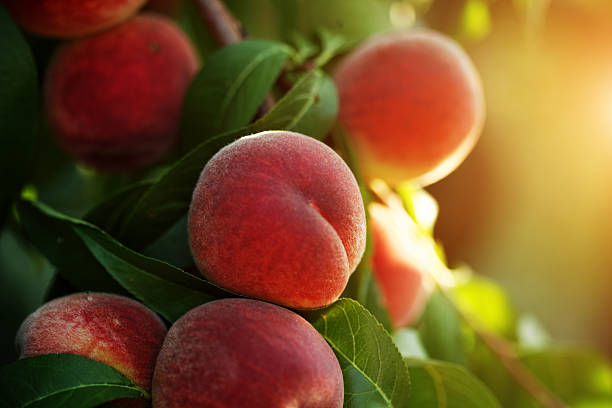 peach fruits stock photo