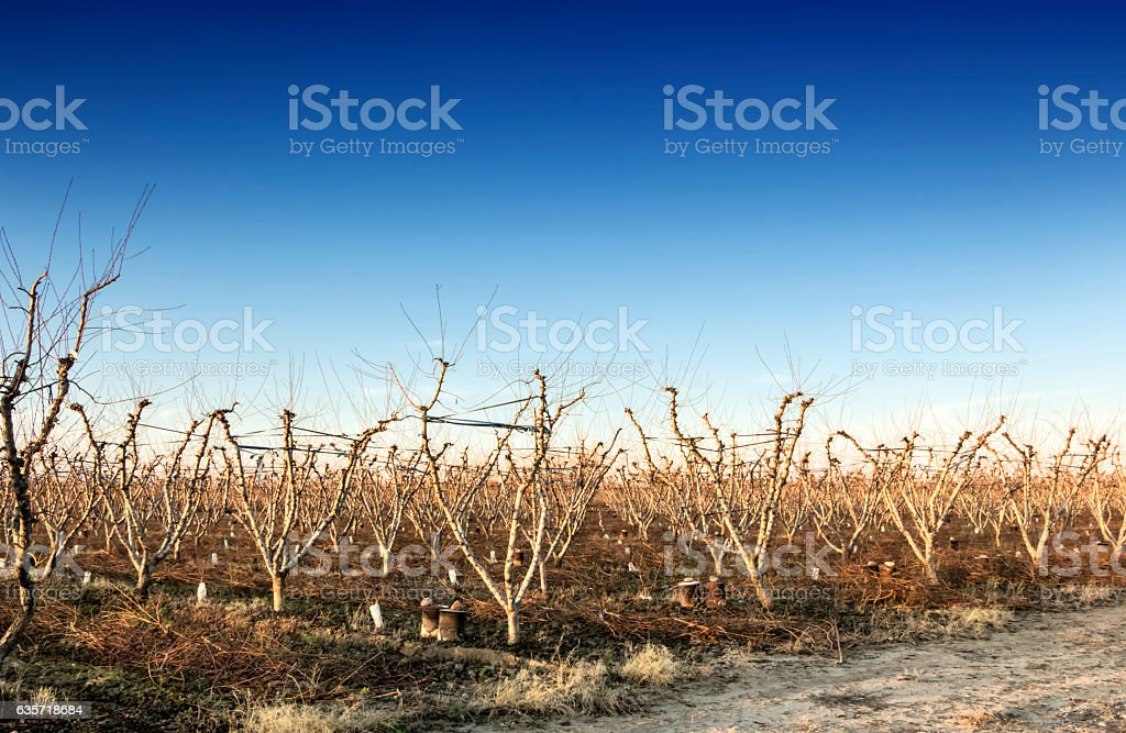 Peach grove at winter stock photo