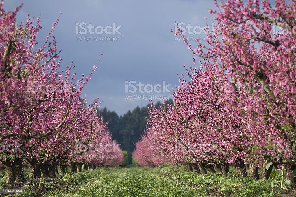 peach grove flourish royalty-free stock photo