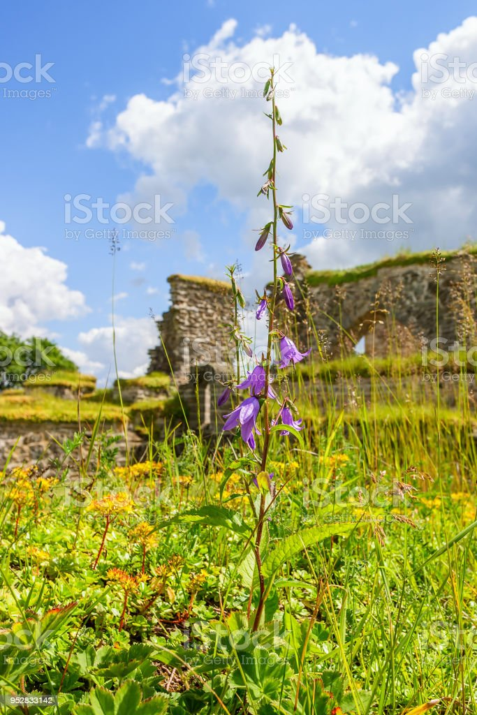 Peach leaved bellflower at an old church ruin stock photo