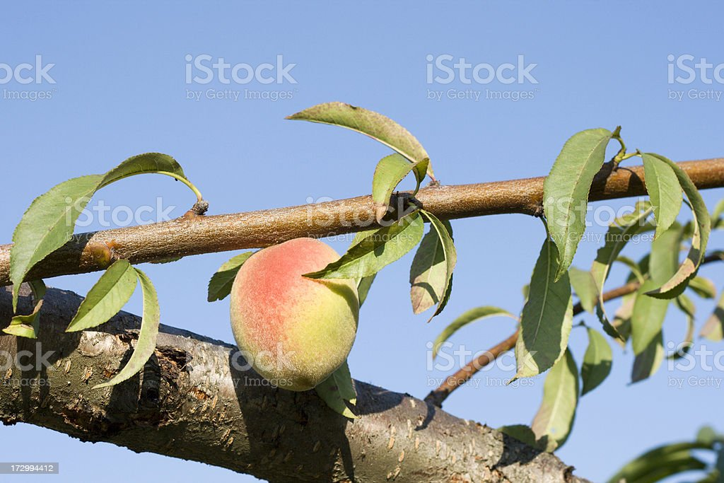 Peach on a Branch royalty-free stock photo