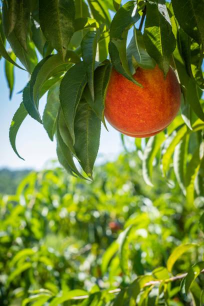 Peach on the Tree stock photo