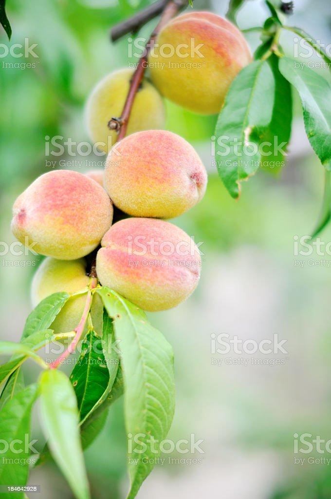 Peach on the tree royalty-free stock photo