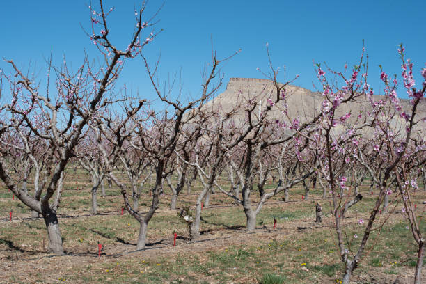 Peach orchard in spring stock photo