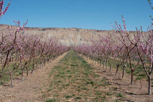 Peach Orchard stock photo