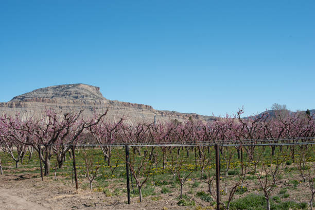 Peach Orchard with Mt. Lincoln stock photo