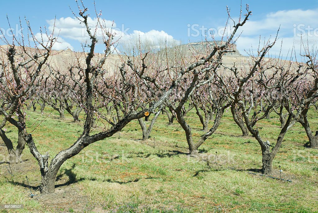 Peach Orchard with Mt. Lincoln royalty-free stock photo